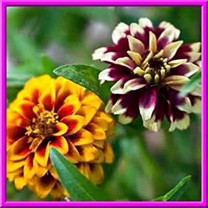 Combined S//H! Persian Carpet Zinnia 25 Seeds SMALL BOLD BLOOMS OF MANY COLORS
