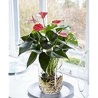 "Anthurie""Alabama"" im Wasser inklusive Glasvase Höhe 40-45 cm Topf-Ø 12 cm Anthurium andreanum"