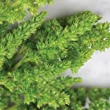 Amaranthus Green Thumb Seeds (Amaranthus Hypochondriacus) (200)