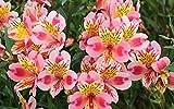 100 Seeds Alstroemeria seeds Peruvian Lily Alstroemeria Inca Bandit Princess lily 14#32797312637ST