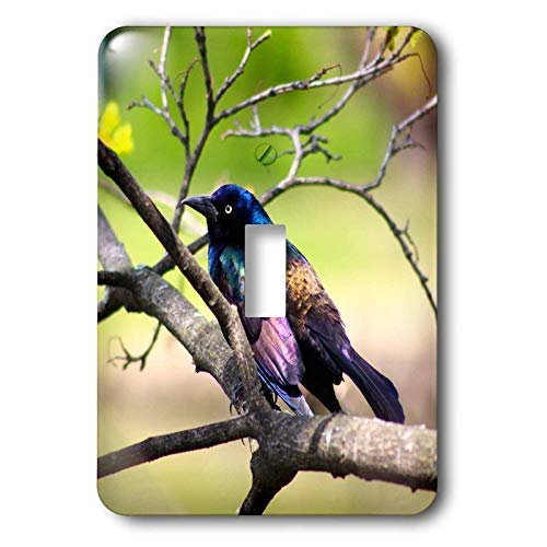 3dRose Stamp City - birds - Photograph of a colorful Common Grackle sitting among the branches. - Light Switch Covers - single toggle switch (lsp_291284_1)