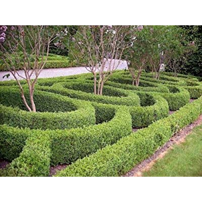 Live Plants - Green Beauty Boxwood - in Gallon Pots Live Shrub Plants for Planting Outdoor #RR04 : Garden & Outdoor