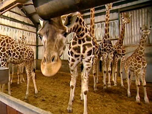 4 Safari Giraffe - Episode 4