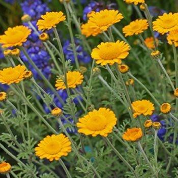 Marguerite Daisy - Outsidepride Marguerite Daisy Orange - 5000 Seeds