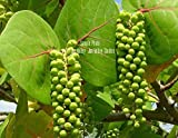 coccoloba uvifera 8 Seeds sea Grape Rare! Tropical Evergreen Plant Standard