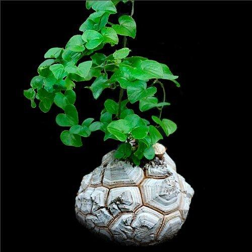 Dioscorea elephantipes (Testudinaria) - 10 seeds CactusPlaza.com