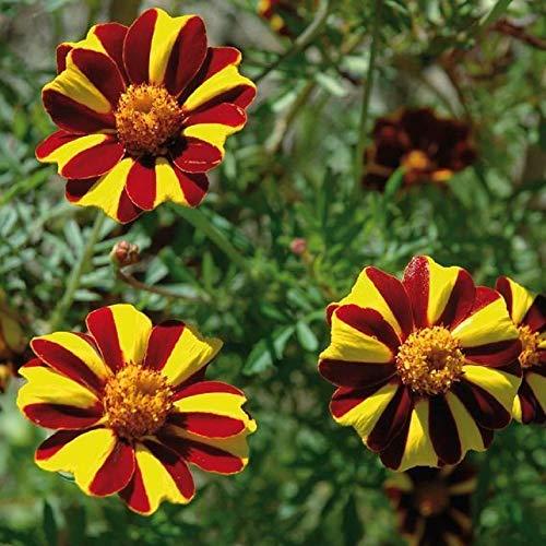 David's Garden Seeds Flower Marigold French Court Jester