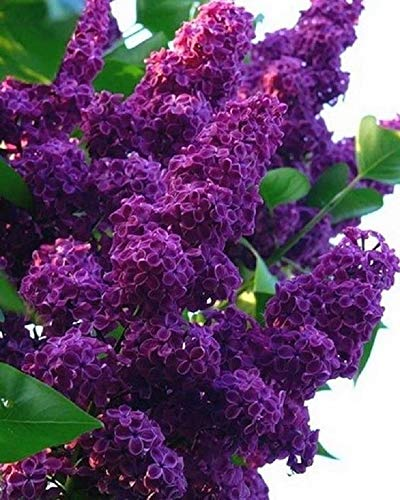 25 Dark Purple Lilac Seeds Tree Fragrant Hardy Perennial Flower Shrub Garden Flower Seeds Planting ()