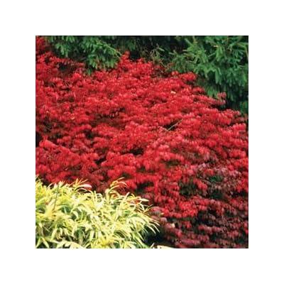"Euonymus-Fire-Ball - 8"" Jumbo Pot (Shrub) : Garden & Outdoor"