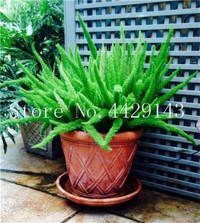 Virtue Bonsai 100 piezas de helechos de coleta de jardín, bonsái, raro espeluznante, hierba, mezcla de follaje, planta exótica para macetas de flores: 24: Amazon.es: Jardín