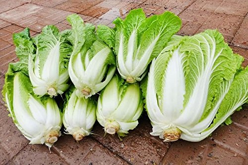 Napa Cabbage (150+ ORGANICALLY GROWN Michihili Chinese Cabbage Seeds, Heirloom NON-GMO, aka Napa, Celery Cabbage, siew choy, won bok, sawi, hakusai, baechu, pak gahd kow, cai bac thao, 70 Days, From USA)