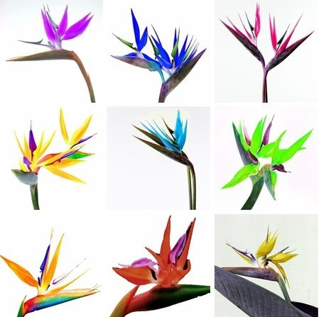 100pcs/pack.Flower pots planters All sorts of color Strelitzia reginae seeds hybrid bird paradise seed Bonsai plants Seeds