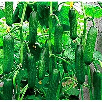 20 pcs Cucumber Seeds Japanese Mini Cucumber Vegetable Plant Organic no-GMO Flores for Home Garden : Garden & Outdoor