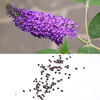 BigFamily 50 Mixed Colors Seeds of Buddleia Butterfly Bush Davidii Butterfly Hybrid : Industrial & Scientific