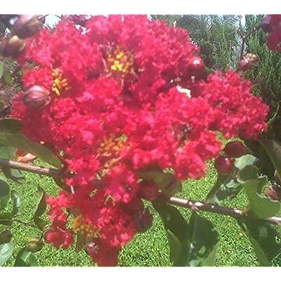 AchmadAnam - Live Plant - Crape Myrtle Muskogee Tree, Red Rocket, Starter Plant. E15 : Garden & Outdoor