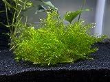 3 Asian Willow Moss Mats (Fontinalis hypnoides) - 3 x 1.6 inches Each - Live Aquatic Aquarium Plant by Aquatic Arts