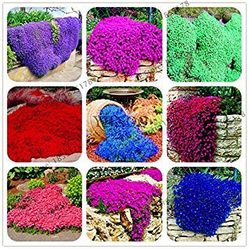 Pink Ground Cover - Big sale 205pcs rare ROCK cress Seeds Climbing plant Creeping Thyme Seeds Perennial Ground cover flower for home garden