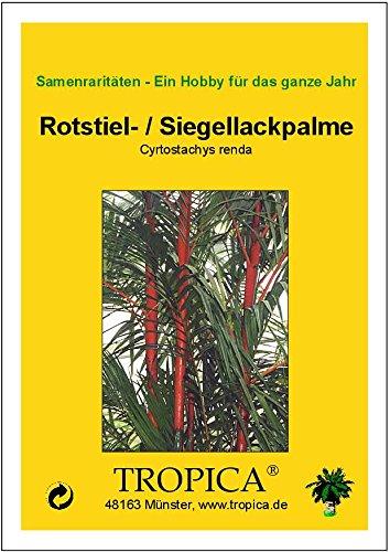 Rotstielpalme Cyrtostachys renda Siegellackpalme 10 Samen