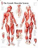 #9: Muscular System Female chart: Laminated Wall Chart