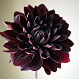 Hot Sale Rare Black With Red Dahlia Beautiful Perennial Flowers Seeds Dahlia Pinnata For Diy Home Garden - 10 Seeds
