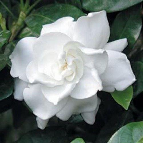 (50 GARDENIA/CAPE JASMINE Jasminiodes White Shrub Flower Seeds )