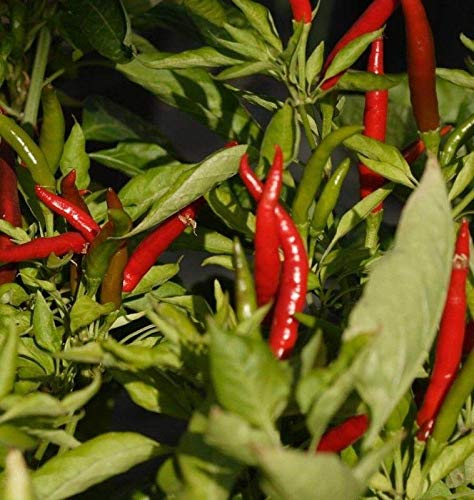 Thai Dragon Pepper Seeds (25 Seed Package)