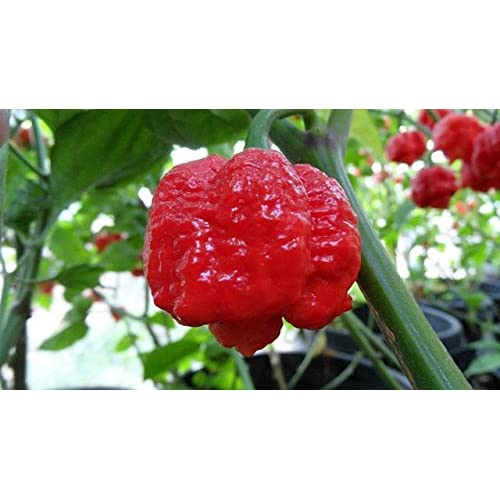 #1150-A WORLDS HOTTEST Trinidad Scorpion Moruga Pepper 25 seeds