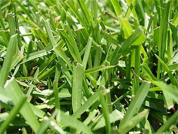 "Centipede Grass Seeds ""Tifblair Certified"" 1 LB - 4000 Sq. Ft. Coverage"