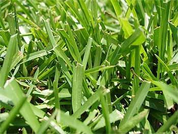 Centipede Grass Seeds ''Tifblair Certified'' 6 LBS