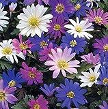 Anemone blanda Bulbs - 20 Spring Flowering Bulbs Special Cheap Offer