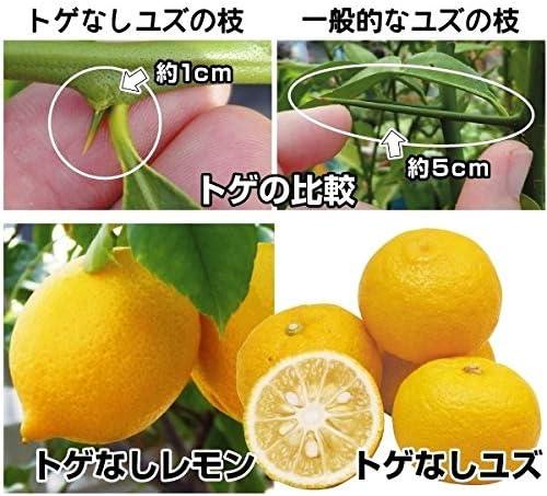 国華園 果樹苗 カンキツ トゲなしレモン&ユズ 2種2株