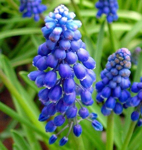 Blue Grape Hyacinth 25 Bulbs - Muscari armeniacum - 8/9 cm Bulbs - Grow Hyacinth Bulb