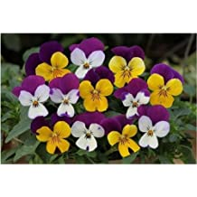 Trailing Pansy Seeds Freefall Little Faces Mix 25 Pansy Seeds Trailing Pansy