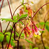 Outsidepride Columbine Eastern Red - 1000 Seeds