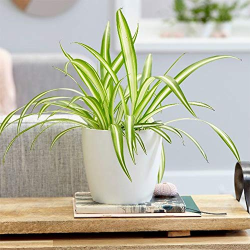 "AMERICAN PLANT EXCHANGE Spider Plant Easy Care Live, 6"" Pot, Indoor/Outdoor Air Purifier"