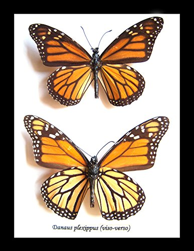Black Banded Glass Shade (Real Butterfly monarch butterfly Framed & Mounted Taxidermy Wall Decor Entomology BDDP)