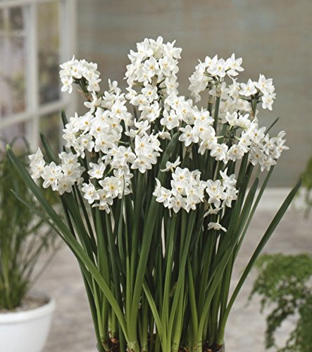 Amazon 10 paperwhites bulbs nir 17 cm size extra large amazon 10 paperwhites bulbs nir 17 cm size extra large paperwhites for forcinggrown in israel best quality indoor blooming fragrant mightylinksfo