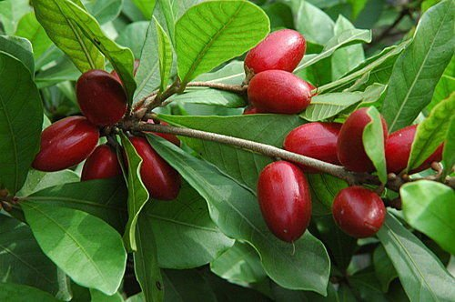 Miracle Berry Fruit Trees by bluestargarden168 (Image #1)