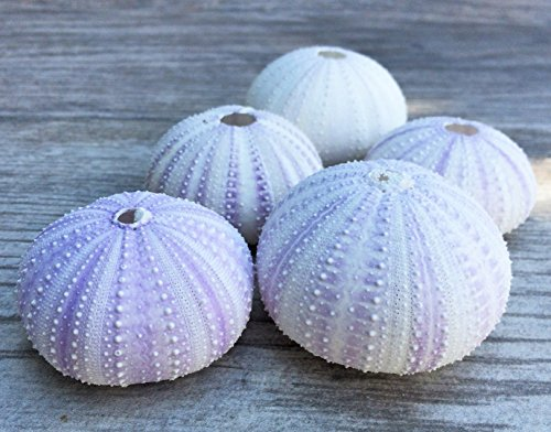 Sea Urchin | 5 Purple Sea Urchin Shell |5 Purple Sea Urchin Shells for Craft and Decor | Nautical Crush Trading TM Sea Urchin Shell