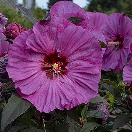 Perennial 15 Mauve Dinnerplate Hibiscus Flower Seeds