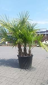 Palma Resistente Al Invierno Trachycarpus Fortunei frío resistente Palma de cáñamo hasta - 17 ° c con 3 Tribus Altura 1,60-1,80 Metros