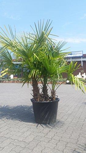 palmier qui resiste au froid