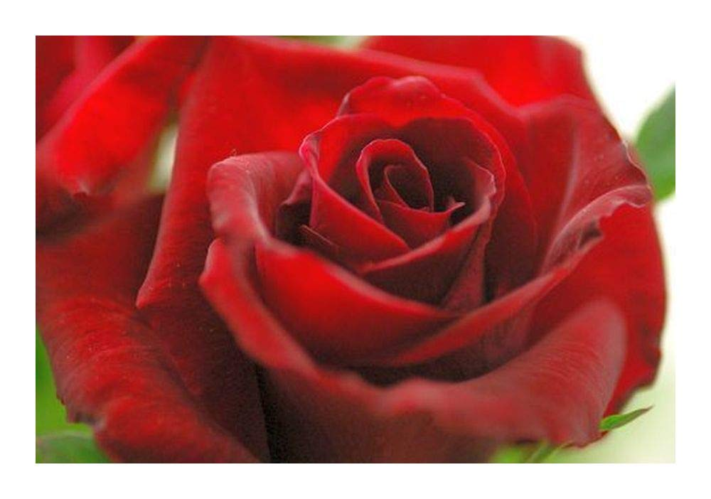 Rosa roja - 10 semillas Exotic Plants