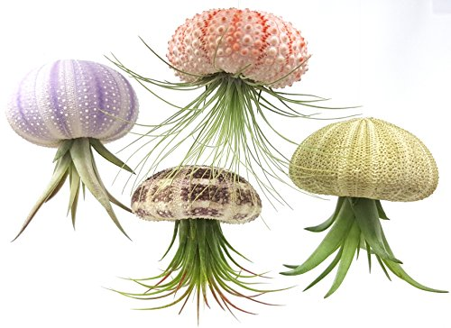 4 Pcs Sea Urchin Air Plant Jellyfish Lot / Kit Includes Plants, Shells, and Hanging Accesories, + Gift Box