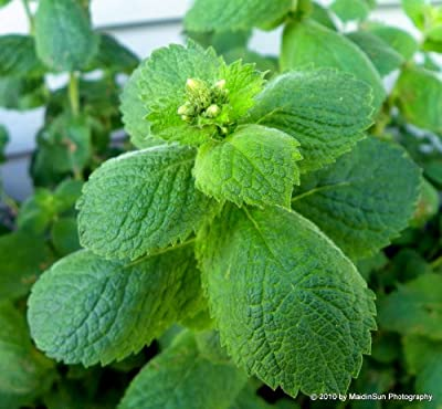 "(HEMI)~""APPLEMINT""~Seeds!!!~~~~Intoxicating Scent!!!!"