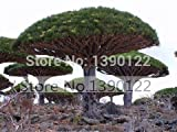 10 rare Dracaena tree seeds Canary Island Dragon blood tree (Dracaena draco) showy
