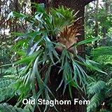 "Staghorn Fern 4"" Hanging Basket - EXOTIC - Platycerium"