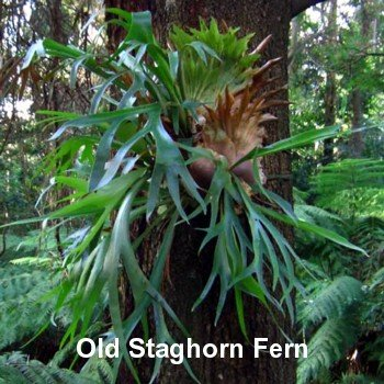 Staghorn Fern 4