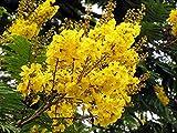 ANVIN Seeds Package: Germination Seeds PLATFIRM-100 Peltophorum dubium Seeds, Yellow Poinciana, Copperpod, Horse, Yellow Jacaranda