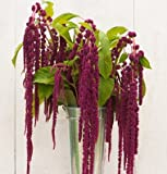 David's Garden Seeds Flower Amaranth Love Lies Bleeding SL1139 (Purple) 200 Non-GMO, Heirloom Seeds